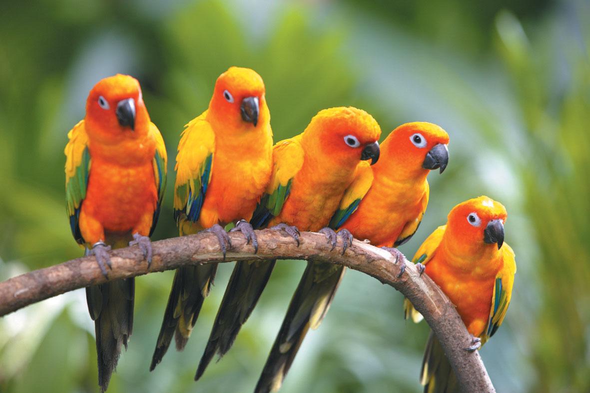 Halcones y demás aves Birds-of-paradise